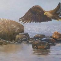 Havsörn Öland_600x375